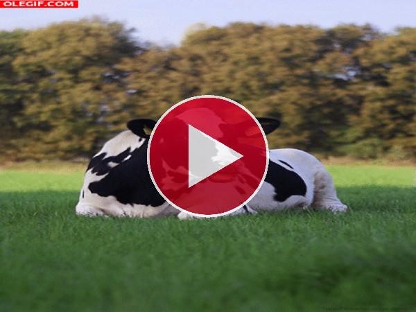 Esta vaca está en la gloria
