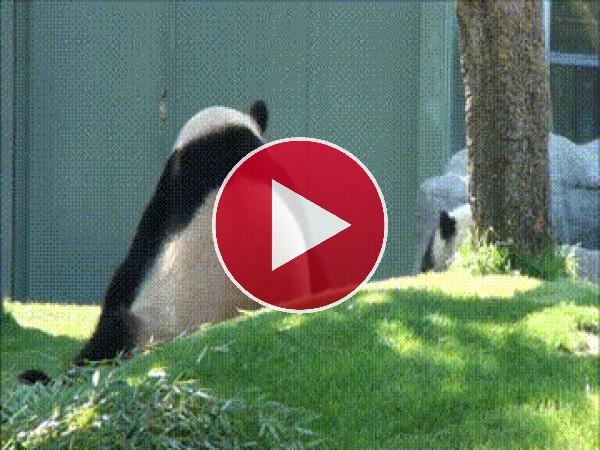 GIF: Unos pandas muy juguetones