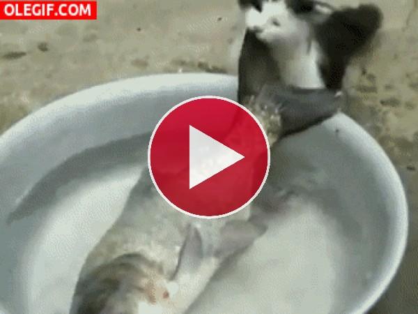 Mira a este gato intentando llevarse al pez