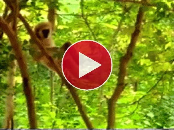 GIF: Un mono muy travieso