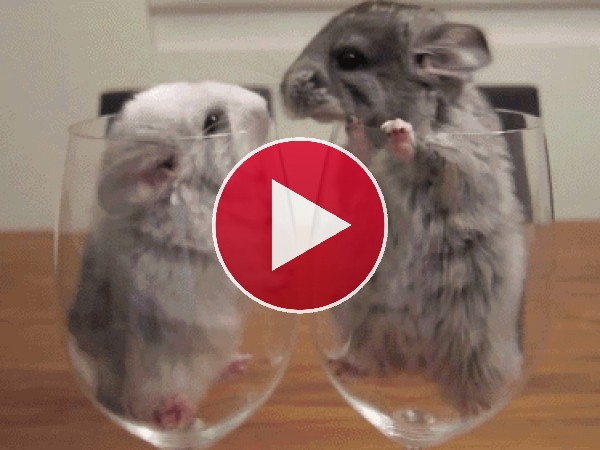 GIF: Estas chinchillas no paran de darse besitos