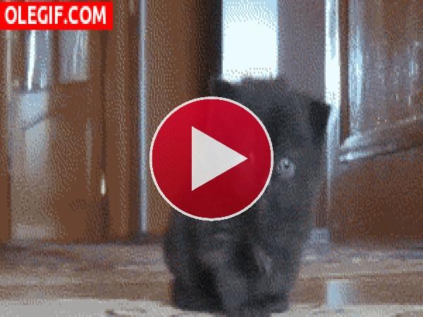 GIF: A este gatito lo lame su mamá