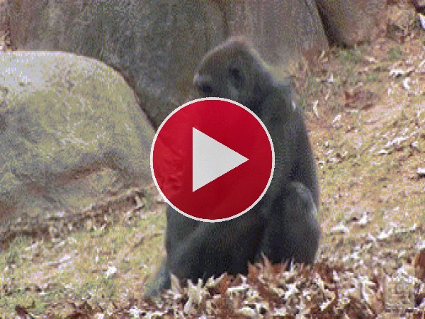 GIF: A este gorila le gusta jugar con las hojas