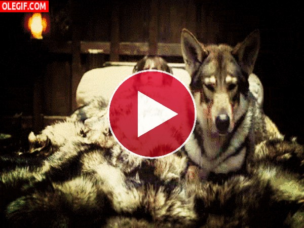 Lobo acomódandose junto a Bran Stark
