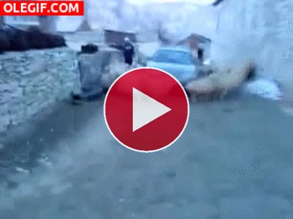 GIF: Estas ovejas no dejan de caminar al rededor del coche
