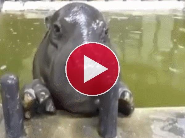 GIF: Este pequeño hipopótamo nos saca la lengua