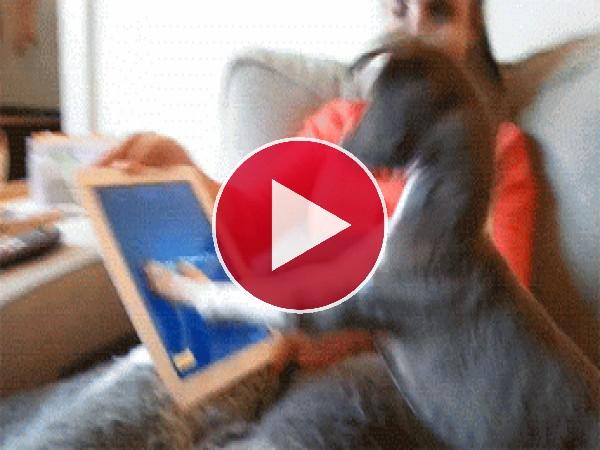 A este perro le entusiasma tocar el iPad