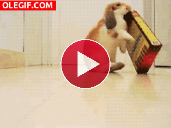 Conejo jugando con una caja