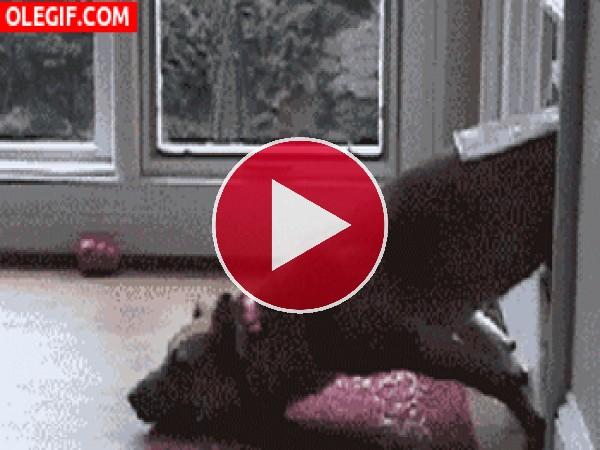 GIF: Este perro no puede entrar en casa
