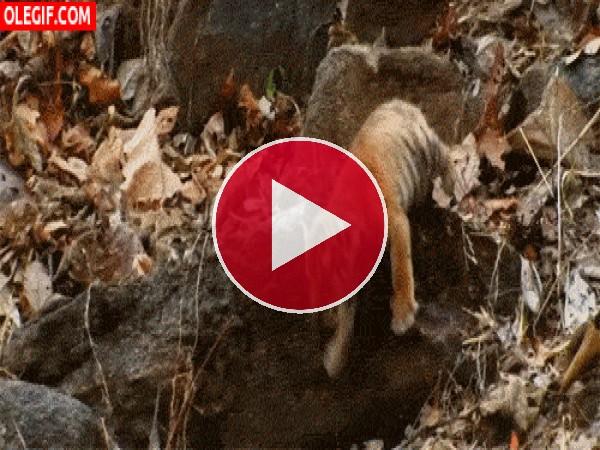 Mira cómo se cae este cachorro de tigre