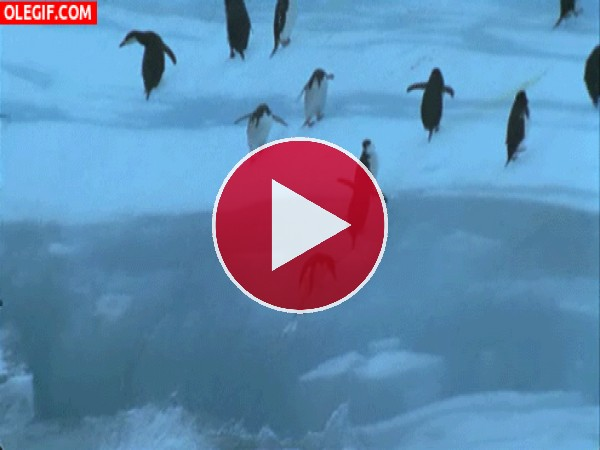 GIF: ¡Pingüinos al agua!