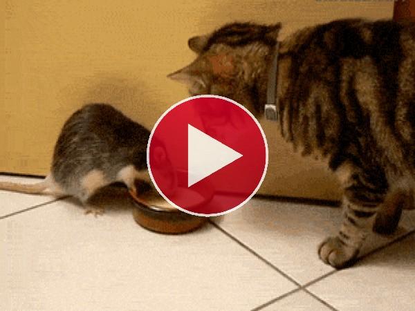 GIF: Esta rata no quiere compartir la leche