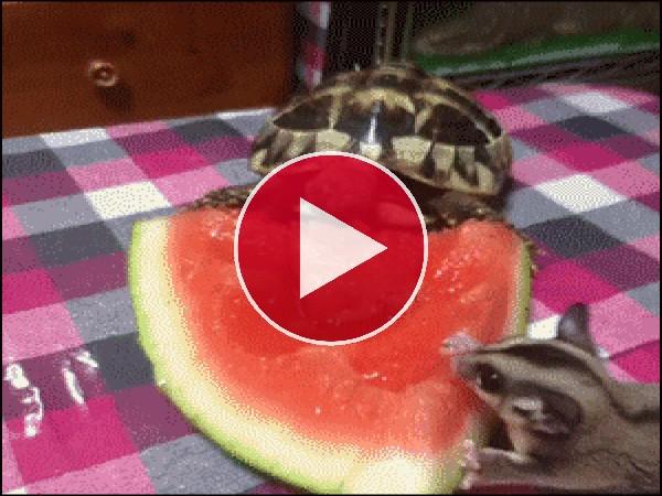 Petauro del azúcar y tortuga comiendo sandía
