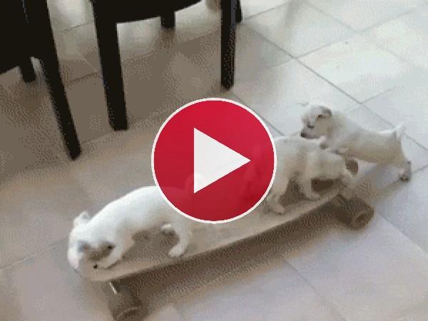 Cachorros jugando con un skate