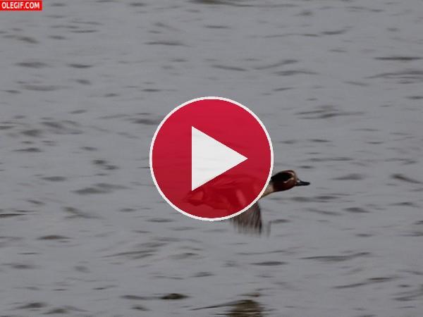 Un pato volando sobre el agua
