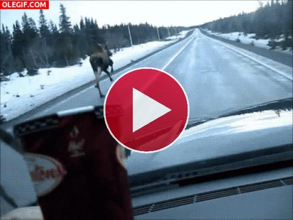 Mira a esta hembra de alce corriendo por una carretera