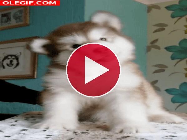 GIF: Un cachorro muy divertido