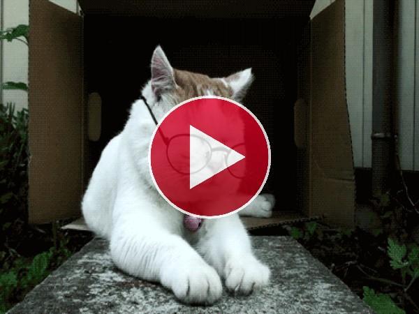 GIF: Este gato se quita las gafas