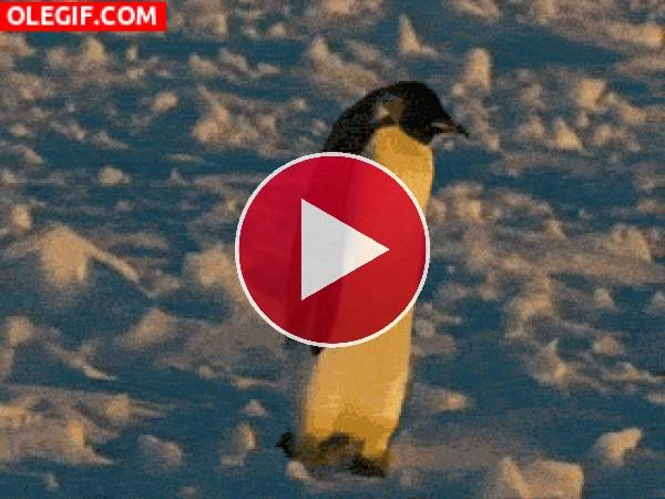 Mira cómo tropieza este pingüino