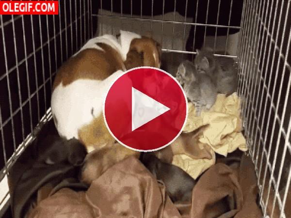 Esta perra cuida de sus cachorros y de unos gatitos