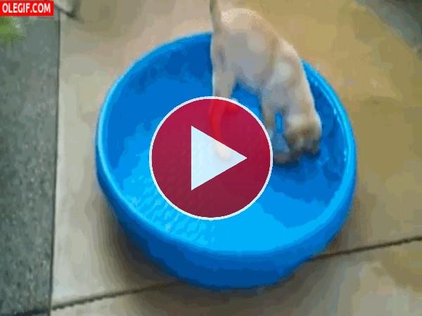 Este perro se lleva la piscina a cuestas
