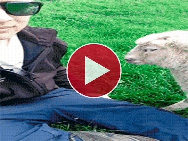 Mira a esta simpática oveja