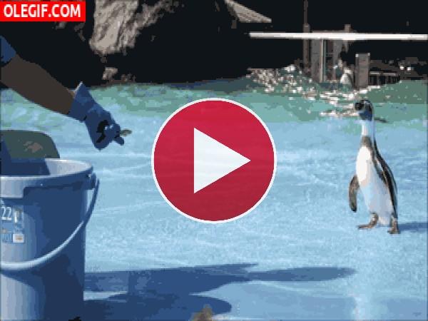 Mira cómo resbala este pingüino