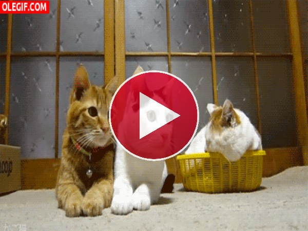GIF: Estos gatos no paran de mover la cabeza