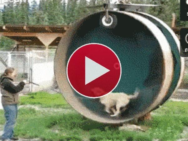 GIF: Este perro se divierte corriendo en la rueda de hámster