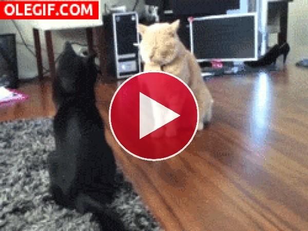 GIF: Una pelea gatuna