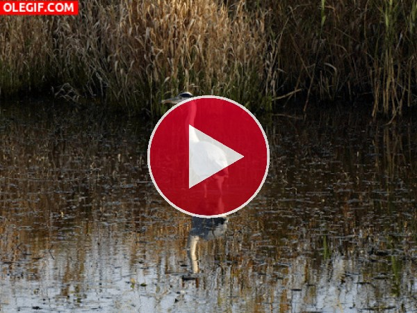 GIF: Una garza en el agua