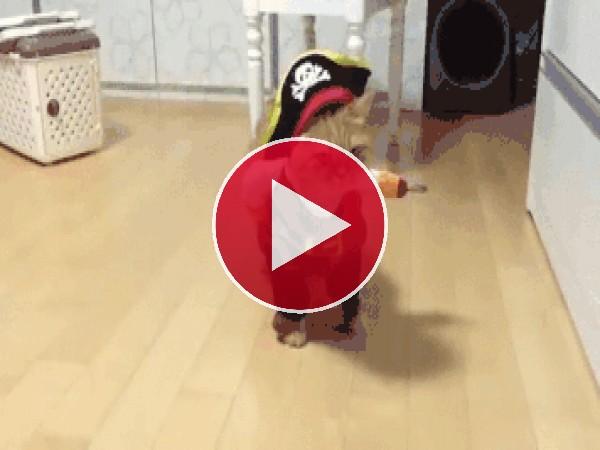 GIF: El gato pirata