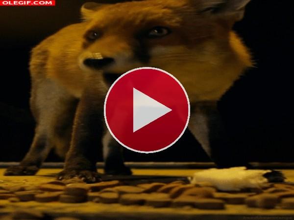 GIF: Mira cómo mastica este zorro