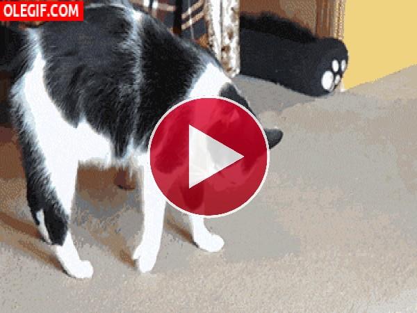 Mira las volteretas que hace este gato