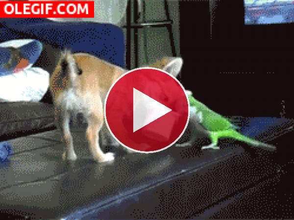 GIF: Periquito peleando con el perro por un Petit Suisse