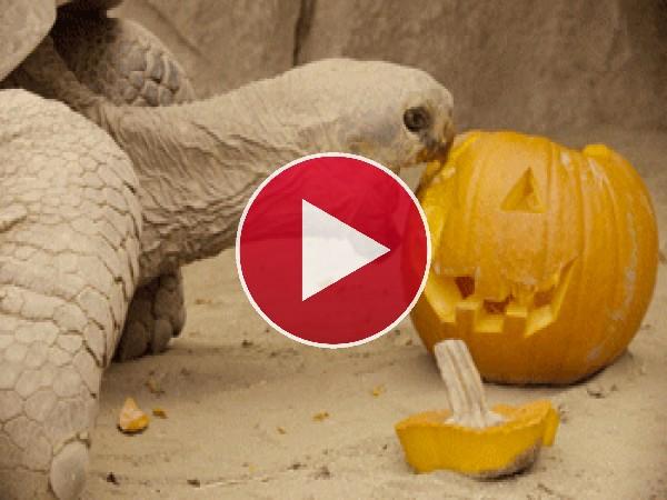 Mira a esta tortuga mordiendo una calabaza de Halloween