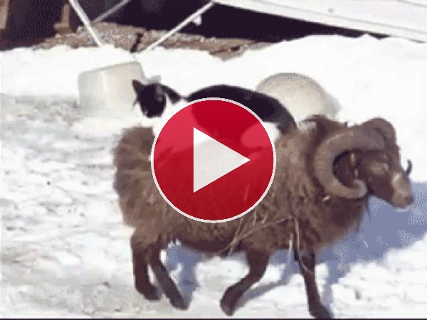 Mira a este gato a lomos de un carnero
