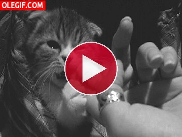 A este gato le gusta dar mordisquitos en el dedo