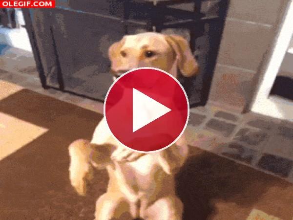 GIF: Este perro se hace el muerto