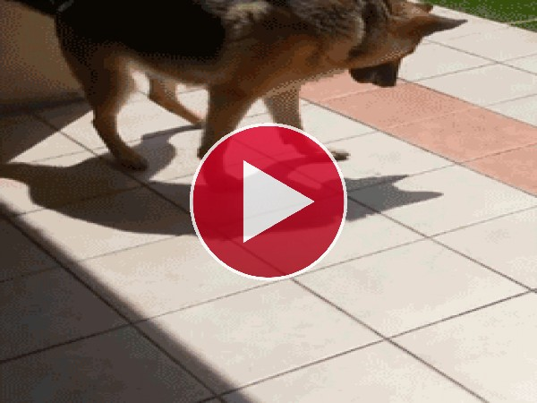 GIF: A este perro no le gusta su sombra