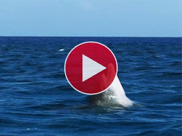 Mira la voltereta que da este delfín