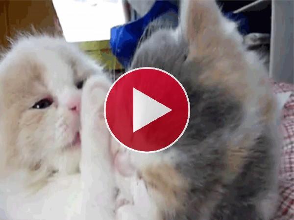 GIF: Dos gatitos muy mimosos