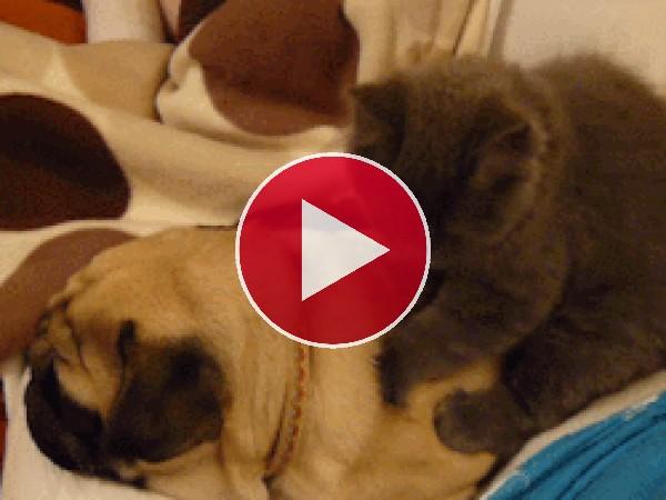 Mira a este gato masajeando al perro