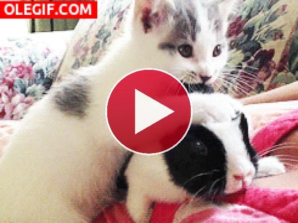 GIF: Este gatito no para de morder la oreja del conejo