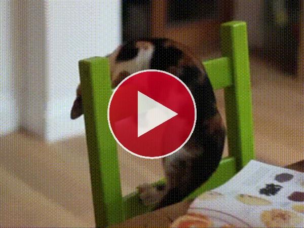 Este gato se cae de la silla