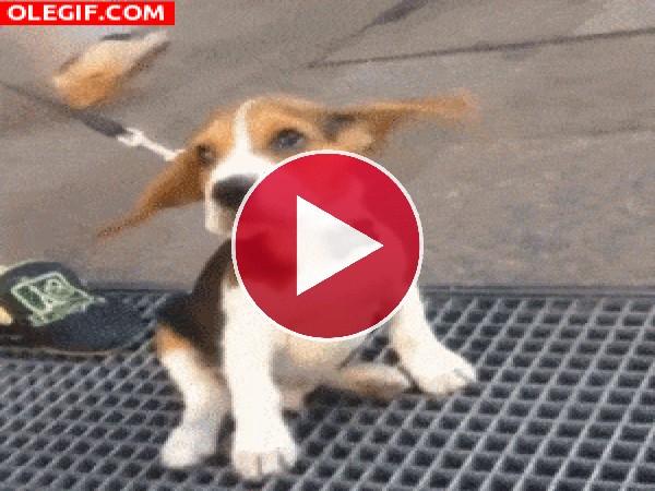 GIF: A este perro se le mueven las orejas
