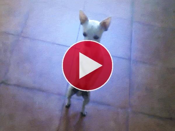 GIF: Un chihuahua bailarín