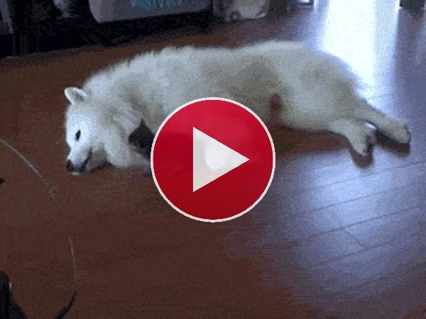 GIF: Gatito jugando con el perro