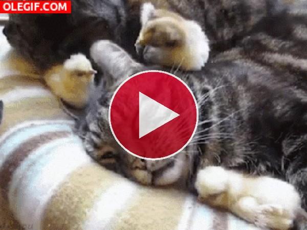 Pollito picando la oreja al gato