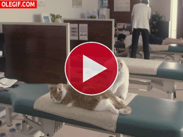 Recibiendo un buen masaje gatuno